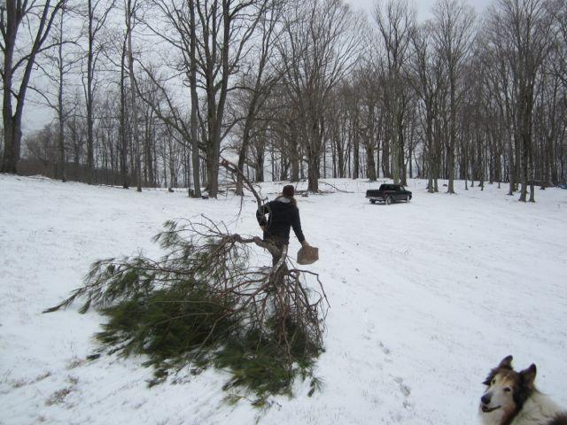 *Taylor dragging pine branch