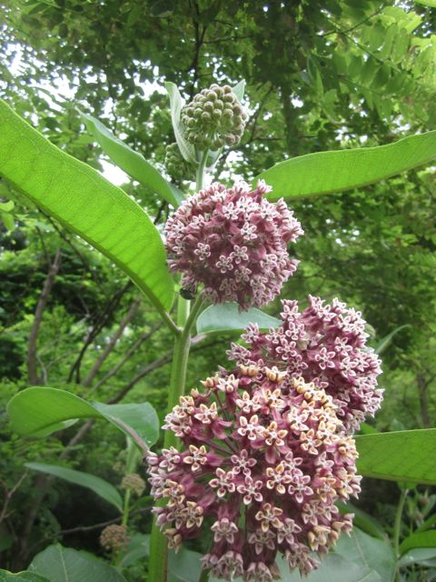 Milkweed (Asclepias sp) is my favorite wild edible. Learn why at my blog: http://wildblessings.com/page/2/?s=throw+me+into+that+milkweed+patch