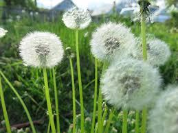 Seed puff