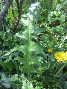 Dandy leaf